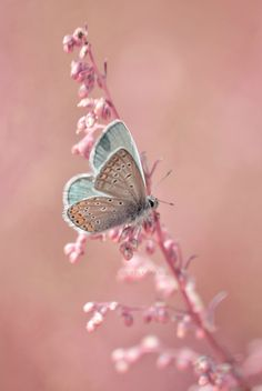 Pantone Rose Quartz and Serenity Butterfly